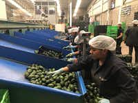 Workers sort avocados for domestic and international exports. About $1 million worth in avocados are exported daily, just from this region alone.(Alfredo Corchado/The Dallas Morning News)