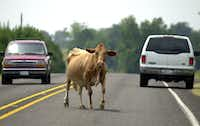 Traffic stops as a cow crosses the road in Bug Tussle in 2002.(Dan Bouge/Sherman Herald Democrat)