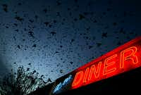 Metro Diner (former), Dallas<div>December, 2006</div><div><br><div>Grackles, blackbirds, cowbirds, and starlings fill the skies in a Hitchcockian image outside the Metro Diner in Dallas.  It is common to see sights like this on winter nights, when our urban blackbirds and starlings come in to roost for the night staging in trees and on wires before lifting off for their evenings.  </div></div>(Guy Reynolds/Staff photographer)