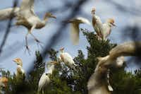 Cattle Egrets in Cedar Hill Rookery<div>June 14, 2016 </div><div><br><div>Cattle Egrets are not native to North America, they found their way here in the late 1800s after arriving in South America from their native ranges in Africa, where they follow along both wild and domestic hoofstock, eating insects that are kicked up by their hooves.  Highly adaptable, they are now found throughout South and much of North America.  They tend to nest in the rookeries of other native herons and egrets.  </div></div>(Nathan Hunsinger/Staff Photographer)