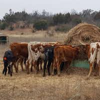 <p>Some of the longhorns seized from a Texas ranch Friday. Altogether, 338 longhorns, including a 3-day-old calf, were removed from the property north of Waco.</p>(Humane Society of North Texas)