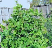 Jicama is an easy and tasty food crop to grow in North Texas.(Howard Garrett/Special Contributor)