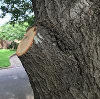 Example of a good pruning cut on a tree.(Howard Garrett/Howard Garrett)