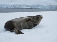 Seals are friendly on a 12-day Polar Latitudes cruise to Antarctica. (Kristy Alpert/Special Contributor)