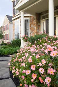Rainbow Knock Out Rose, Star Roses and Plants(Rob Cardillo/National Garden Bureau)