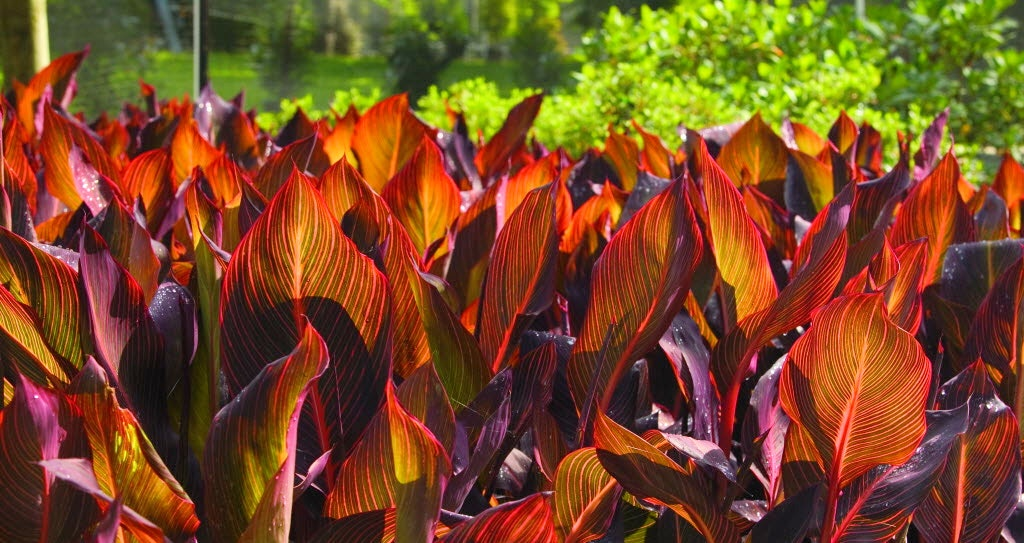 Cannas Add Tropical Garden Color Tolerate Texas Summers