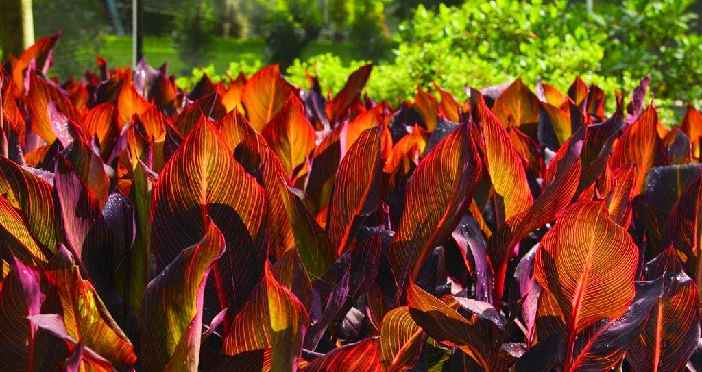 Cannas Add Tropical Garden Color Tolerate Texas Summers