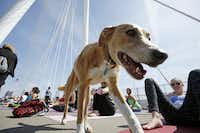 A dog named Maggie strolled between yoga enthusiasts during the All Out Trinity Festival.(2015 File Photo)
