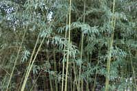 Howard Garrett does not recommend bamboo as a privacy screen unless it's already on your property.