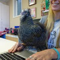 Kevin the chicken strikes a pose by the laptop in the Good Local Markets office. (Kim Pierce/Special Contributor)
