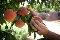In this July 6, 2017 photo, Jay Hutton picks peaches at Hutton Peach Farm in Weatherford.(Joyce Marshall/The Associated Press)