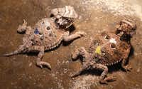 <p>These Texas Horned Lizards were hatched on July 20, 2017. The babies keep warm under heat lamps and eat fruit flies as part of their insectivore diet. Once the lizards get bigger, they move to a diet of harvester ants. </p>(David Woo/Staff Photographer)