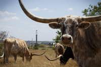 Longhorns near a new oil well being drilled in Karnes County, Texas, Aug. 7, 2015. No place in Texas produces more oil than Karnes County, but suddenly the roaring economy here is cooling fast.(MICHAEL STRAVATO/NYT)