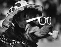 Mack the Rottweiler watched the St. Patrick's Day parade in downtown Dallas on March 17, 1987.(David Woo/The Dallas Morning News)