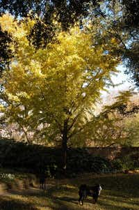 Ginkgo has few problems other than issues with the soil.(Howard Garrett/Special Contributor)