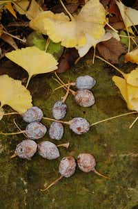 Female ginkgo trees produce stinky fruit.(Howard Garrett/Special Contributor)