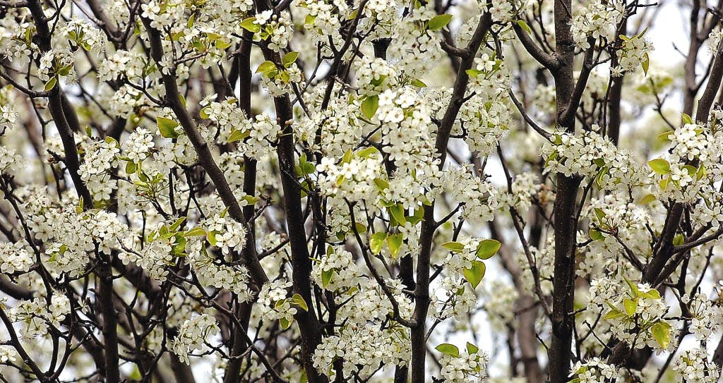 Where did those nasty bradford pear trees come from and why are they denton record chronicle mightylinksfo