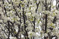 Bradford pear trees in Denton(Barron Ludlum/Denton Record Chronicle)