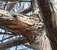 Sapsucker damage on bald cypress trees(Howard Garrett/Special Contributor)