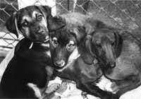 Bronson, Woof Woof and Hot Dog at the Irving Humane Society in 1991.(Richard Michael Pruitt/The Dallas Morning News)
