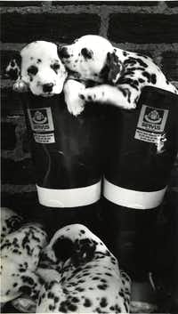The purebred Dalmatian puppies of Barney and Natasha Pepper  in 1987.(Paula Nelson/The Dallas Morning News)