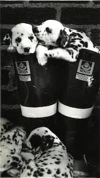 The purebred Dalmatian puppies of Barney and Natasha Pepper in 1987.(Paula Nelson/The Dallas Morning News)