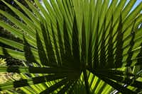Several palm varieties can survive in North Texas.(NATHAN HUNSINGER/Staff Photographer)