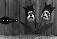 Gray Miniature Schnauzers, Spencer and Lacy, get a view of the outside world after their owners cut holes in the fence.(Irwin Thompson/The Dallas Morning News)
