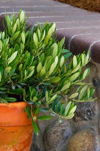 'Little Ollie' dwarf fruitless olive tree from Monrovia(Doreen Wynja for Monrovia)
