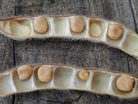 Closeup of Texas bluebonnet seeds in the pod(Joseph A Marcus/Wildflower Center Digital Librar)
