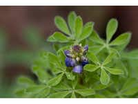 Close-up of Texas bluebonnet leaves and an inflorescence.(James Garland Holmes/Wildflower Center Digital Librar)