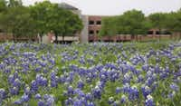 A field of bluebonnets makes the perfect setting for photos on the property of the JC Penney's headquarters campus in Plano in 2017. (Louis DeLuca/Staff Photographer)