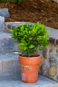 Sweet Bay shrub from Monrovia in a container(Doreen Wynja for Monrovia)