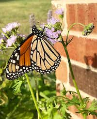 Visitors to the DCMGA Plant Sale will find Gregg's Mistflower, a native perennial from the Aster family, which blooms March through November. Pollinator friendly, it is especially attractive to butterflies in the fall.(Kathryn Wells)