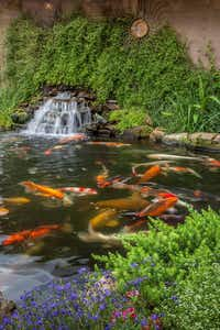 The North Texas Water Garden Society Pond Tour offers both night and daytime excursions to member ponds in Fort Worth.(Ray Kingsbury/North Texas Water Garden Society)
