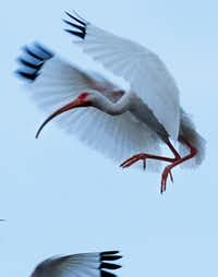 A white ibis prepares to land on branches at the nesting areas of the University of Texas Southwestern Medical Center rookery.(Ben Torres/Special Contributor)
