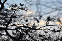 A crowd of white ibis nest at the University of Texas Southwestern Medical Center Rookery in Dallas.(Ben Torres/Special Contributor)