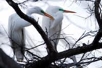 Two great egrets sit near their nest at the University of Texas Southwestern Medical Center Rookery in Dallas.(Ben Torres/Special Contributor)