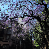 Spring in Mexico City is colored by purple jacaranda trees. For some it's the only beauty amid a contentious presidential campaign that ends July 1st.  (Alfredo Corchado /The Dallas Morning News)