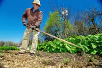 Donation garden manager Robert Gross removes weeds from growing around potato plants at the Lake Highland Community Garden.(Brandon Wade/Special Contributor)