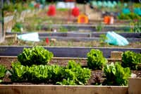 Lettuce grows in the Lake Highland Community Garden.(Brandon Wade/Special Contributor)