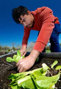 Htun Htun plants lettuce in a raised garden bed at the Lake Highland Community Garden in Dallas.(Brandon Wade/Special Contributor)
