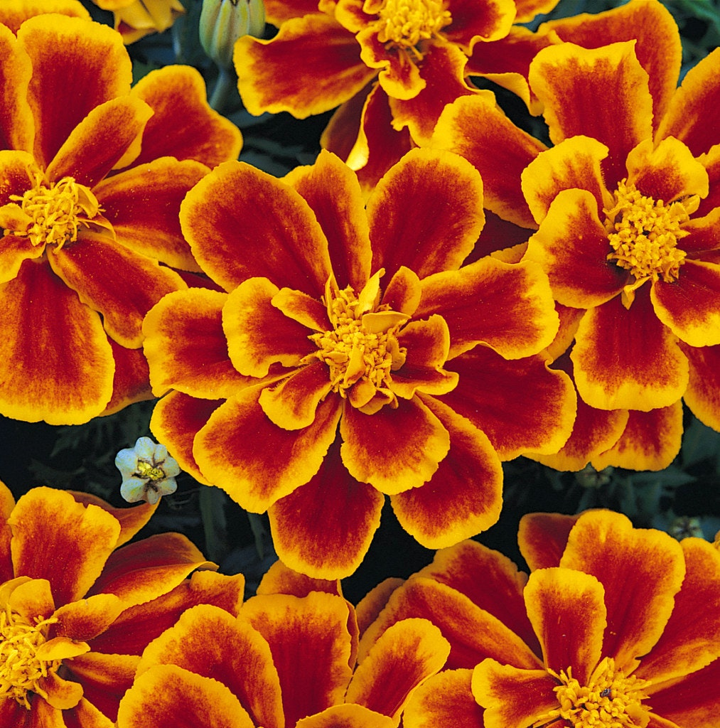 Image result for Why heat-tolerant marigolds are perfect for Texas gardens