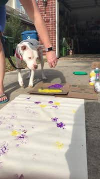 "<br>(Humane Tomorrow/<p><span style=""font-size: 1em; background-color: rgb(255, 255, 255);"">F</span><span style=""font-size: 1em; background-color: transparent;"">oster dog Paris helped Fido Fest organizers practice Paw Painting, one of the new activities this year.</span></p>)"