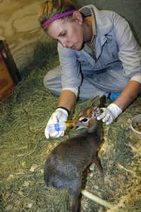 Keeper Christine Stephan feeds Dasher the dik-dik at the Dallas Zoo in 2016.(Courtesy/Dallas Zoo)