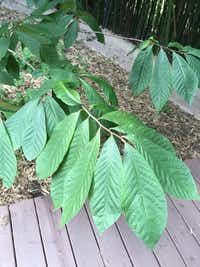 Even without the fruit, pawpaw makes an excellent ornamental tree for the garden.(Howard Garrett/Special Contributor)