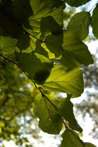 Green leaves of the Persian ironwood (Parrotia persica)(Howard Garrett/Special Contributor)