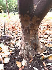 Bark of the Persian ironwood (Parrotia persica)(Howard Garrett/Special Contributor)