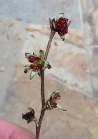Immature flowers of the Persian ironwood (Parrotia persica)(Howard Garrett/Special Contributor)