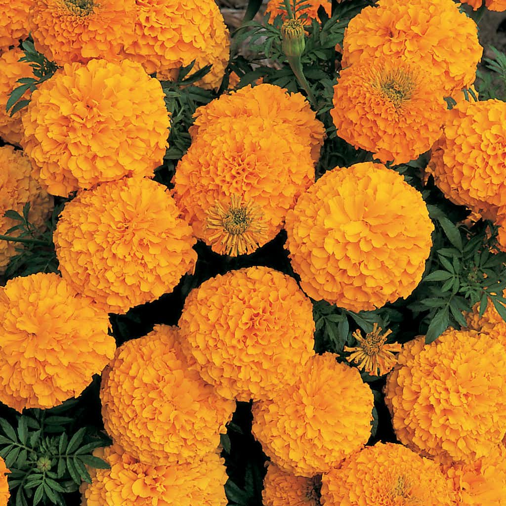 African Marigold 'Inca II Orange'(Ball Horticultural)
